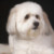 Group logo of Coton de Tulear Dog