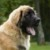 Group logo of Leonberger Dog