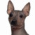 Group logo of American Hairless Terrier Dog