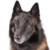 Group logo of Belgian Tervuren Dog