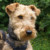 Group logo of Welsh Terrier Dog