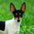 Group logo of Toy Fox Terrier Dog