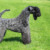 Group logo of Kerry Blue Terrier Dog