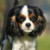 Group logo of English Toy Spaniel Dog