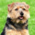 Group logo of Norfolk Terrier Dog