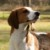 Group logo of Treeing Walker Coonhound Dog