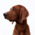 Group logo of Redbone Coonhound Dog