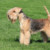 Group logo of Lakeland Terrier Dog