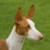Group logo of Ibizan Hound Dog