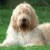 Group logo of Otterhound Dog