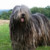 Group logo of Bergamasco Dog