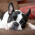 Group logo of Boston Terrier Dog