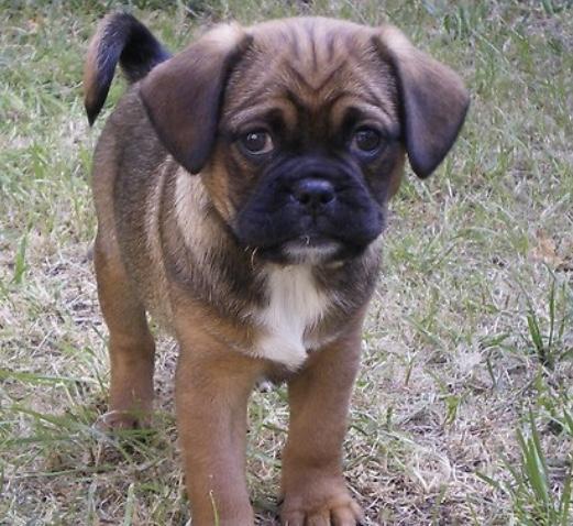 Pugalier dog
