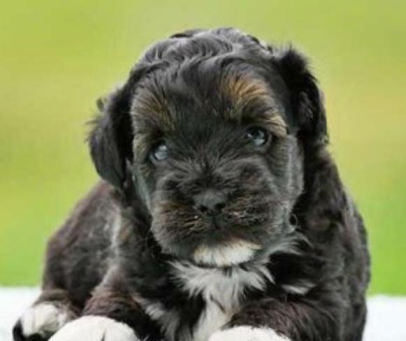 Shihpoo dog