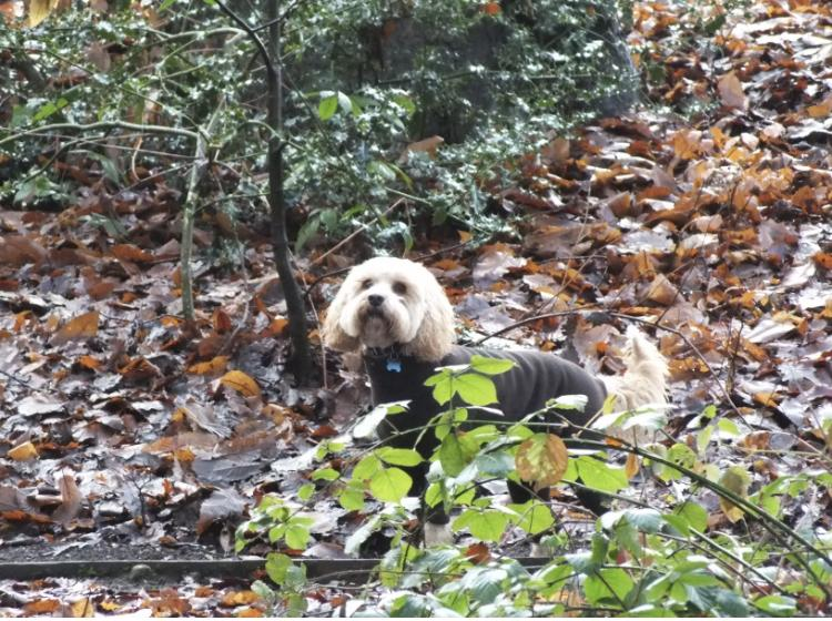 Shihpoo dog in the forest