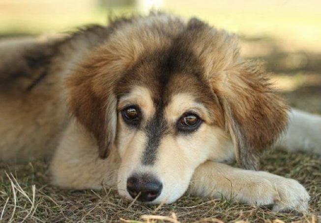 Siberian Cocker dog