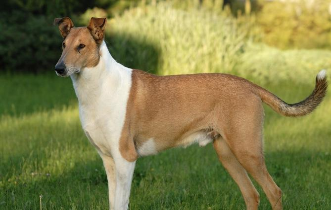 Smooth Collie dog