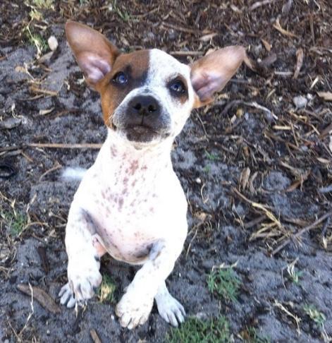 Staffy Jack dog