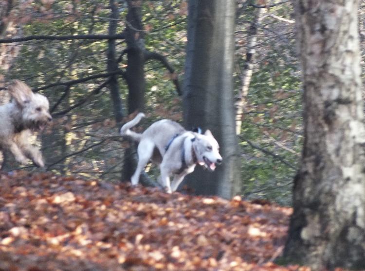 Tamaskan dog running