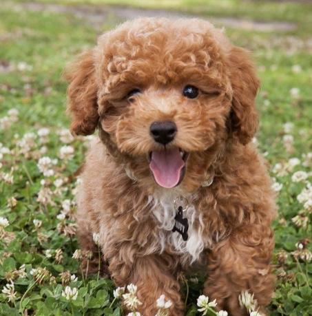 Terripoo dog