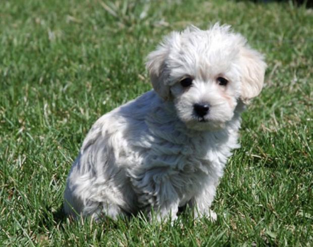 Westiepoo dog