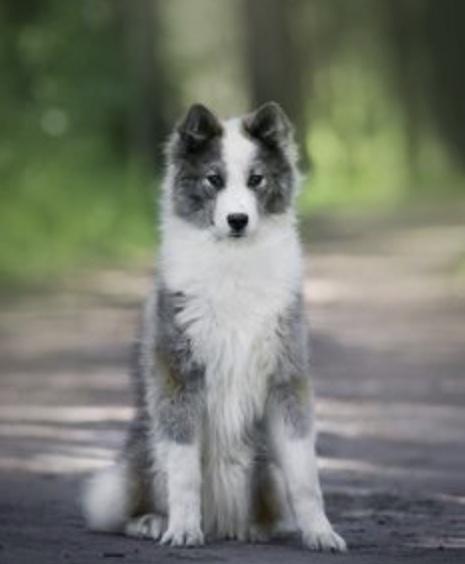 Yakutian Laika dog