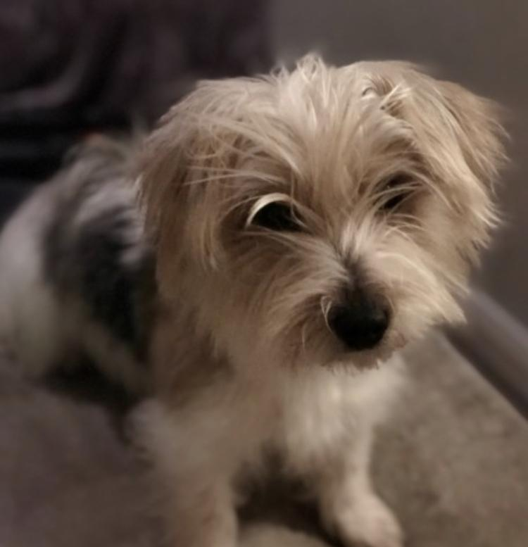 Yorkie Russell dog