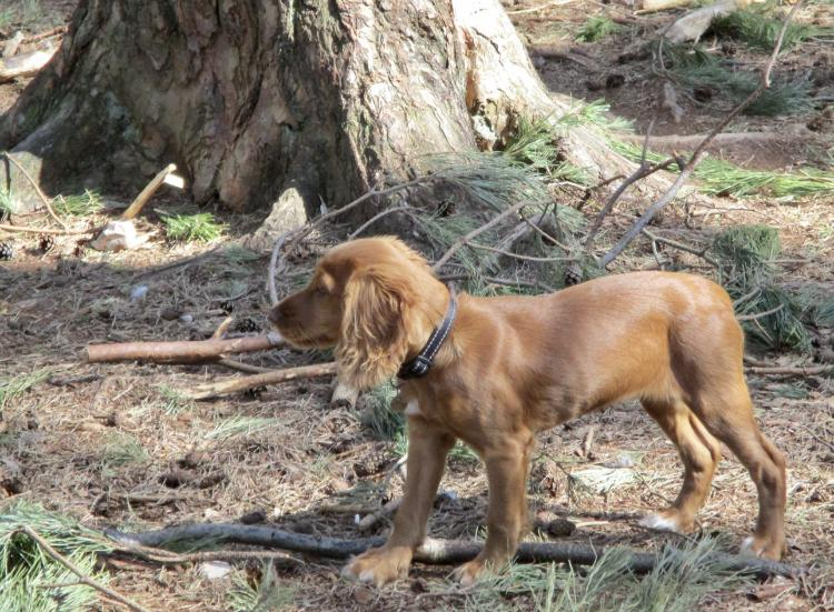 Everything we need to know about the English Cocker Spaniel