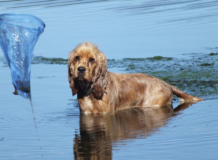 English Cocker Spaniel playing in the water near Manchester, United Kingdom