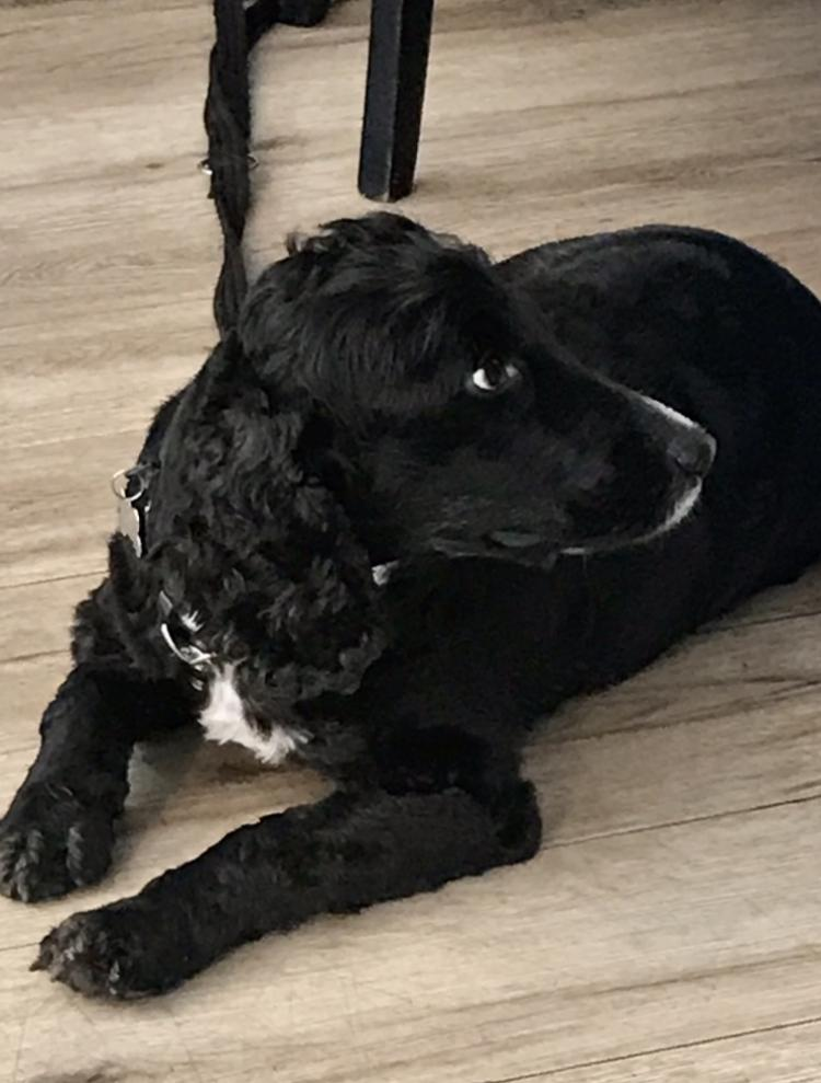 Obedient Cocker Spaniel waiting around supper table,Europe