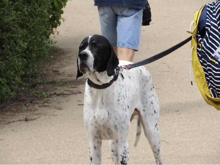 English Pointer is friendly