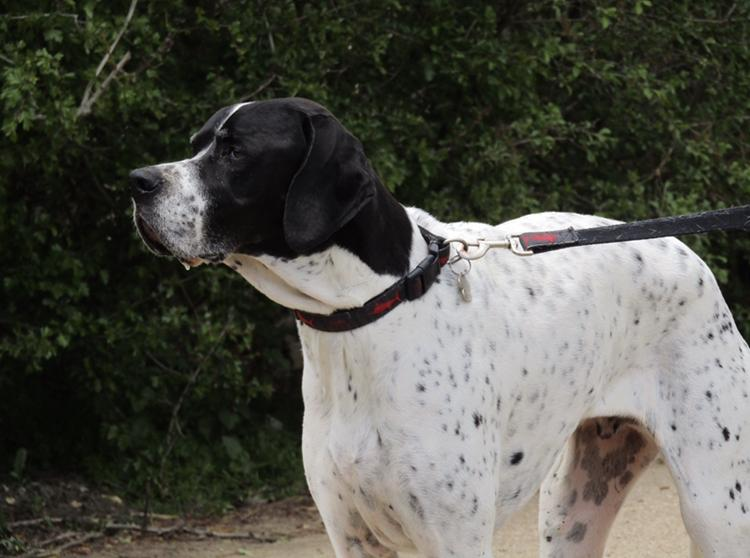 English Pointer with black head and white spotted coat