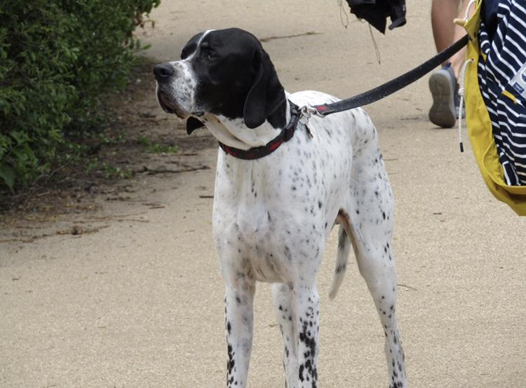 Loyal English Pointer is often alert of the surrounding