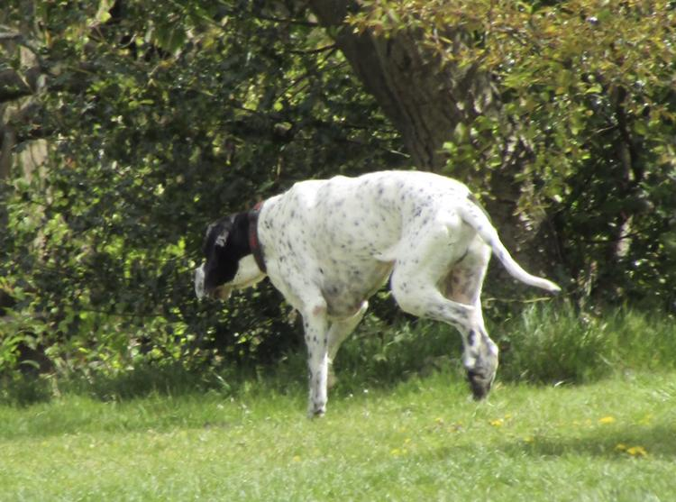 English Pointer is a natural hunter