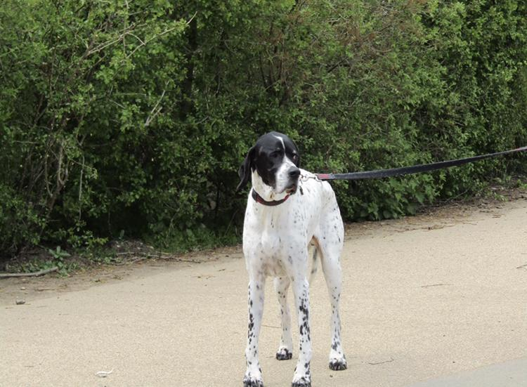 The English Pointer is tall