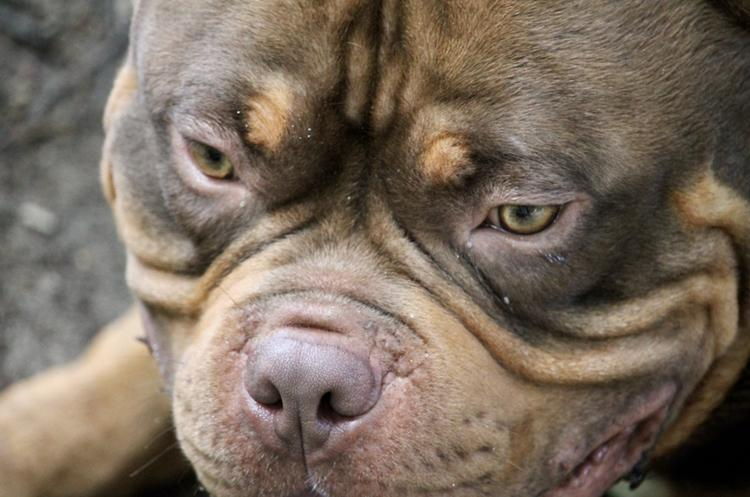 American Bully in Vancouver, Canada