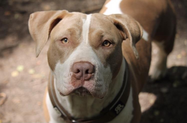 Everything we need to know about the American Bulldog